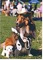 Cowboy Sheltie.jpg