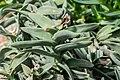 Crassula perforata in Botanischer Garten Muenster.jpg