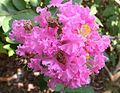 Crepe Myrtle, Crape Myrtle 'Pink Lace' (Lagerstroemia indica).jpg