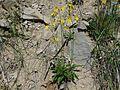 Crepis biennis a1.JPG