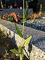 Crepis pulchra sl74.jpg