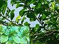 Crescentia cujete - Leaves (Bignoniaceae).jpg