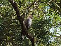 Crested Hawk Eagle1.jpg
