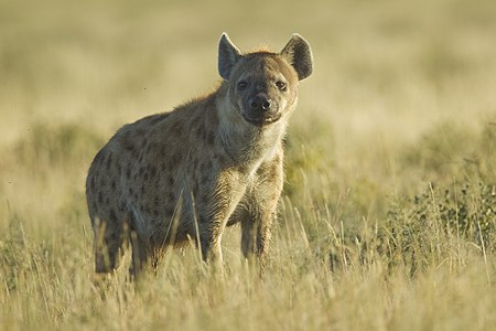English: Adult spotted hyena (Crocuta crocuta) in Etosha National Park
