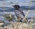 Crow at Trimpley Reservoir - geograph.org.uk - 849033.jpg