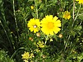 Crown daisy in blossom.jpg