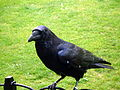 Crows 6 2012-07-04.jpg