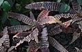 Cryptanthus zonatus fusca.jpg