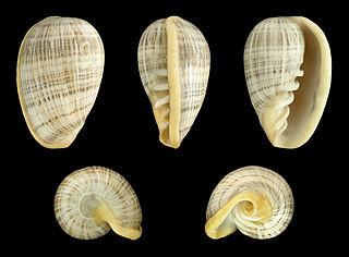<i>Cryptospira</i> genus of molluscs