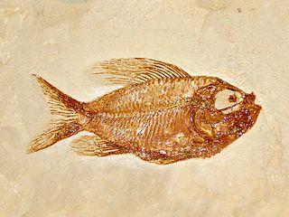 <i>Ctenothrissa</i> Extinct genus of fishes