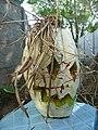 Cucurbita maxima Zapallo Plomo semillería Florensa - (PV02) 2015-01-29 zapallo día 19 exorcismo 06.jpg