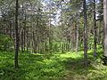 Cudowne kaszubskie lasy.JPG