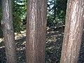 Cunninghamia lanceolata 4zz.jpg
