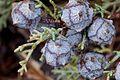 Cupressus glabra cones Pine AZ 1.jpg
