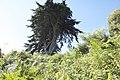 Cupressus macrocarpa-4317.jpg