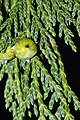 Cupressus nootkatensis 5875.JPG