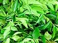 Curry Leaf of Tamilnadu.jpg