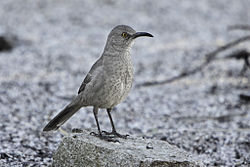 Curve-billed Thrasher (Toxostoma curvirostre) in Sabino Canyon.jpg