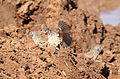 Cut-throat finch, Amadina fasciata at Mapungubwe National Park, Limpopo, South Africa (album includes copulating pair) (17867321551).jpg