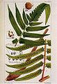 Cyathea podophylla.jpg