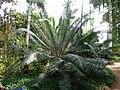 Cycas circinalis queen sago palm (fabooj).jpg