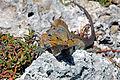 Cyclura rileyi rileyi (San Salvador rock iguana) (Green Cay, offshore from northwestern San Salvador Island, Bahamas) 11 (15421114603).jpg