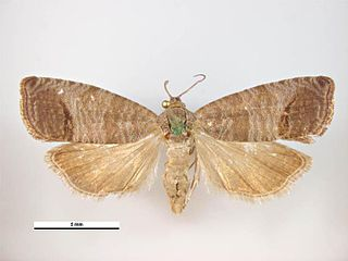 Codling moth species of insect