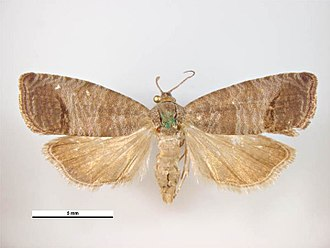 Codling moth - Male
