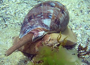 Siphon (mollusc) - The siphon of a large carnivorous marine volute, Cymbiola magnifica