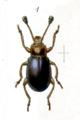 Cymones atroclavatus.png