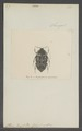 Cymophorus - Print - Iconographia Zoologica - Special Collections University of Amsterdam - UBAINV0274 022 07 0003.tif