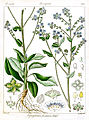 Cynoglossum zeylanicum Govindoo.jpg