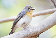 Cyornis tickelliae female - Kaeng Krachan.jpg