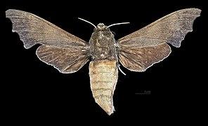 Cypa decolor MHNT CUT 2010 0 219 Sanpatang Chiang Mai Thailand female dorsal.jpg