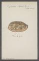 Cypraea argus - - Print - Iconographia Zoologica - Special Collections University of Amsterdam - UBAINV0274 088 02 0014.tif