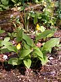 Cypripedium parviflorum Orchi 009.jpg