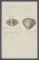 Cytherea tripla - - Print - Iconographia Zoologica - Special Collections University of Amsterdam - UBAINV0274 078 01 0012.tif