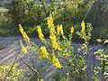 Cytisus nigricans sl5.jpg