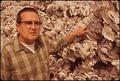 DENNIS TUFTS, SHELL FISH BIOLOGIST WITH THE WASHINGTON DEPARTMENT OF FISHERIES, WITH STRINGS OF OYSTER SHELLS. THE... - NARA - 545310.tif