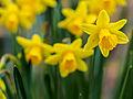 Daffodils on St. David's day (12867304263).jpg