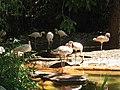 Dallas Zoo Lesser Flamingos.jpg