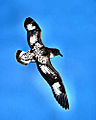 Daption capense in flight - SE Tasmania-ws.jpg