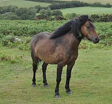 Photo de trois-quart avant droit d'un poney Dartmoor.