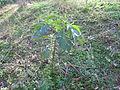 Datura stramonium plant2 (13833661833).jpg