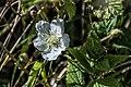 Dauwbraam (Rubus caesius) (19429385265).jpg