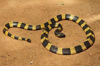 <i>Bungarus</i> Genus of venomous snakes
