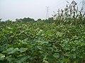 Daye-cotton-0091.jpg