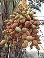 Dead Sea, date palm fruits ripenning.JPG
