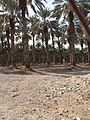 Dead Sea, date palm plantation.JPG