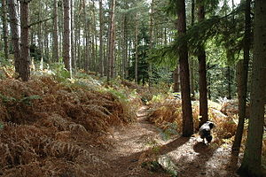 Delamere Forest - Coniferous plantation